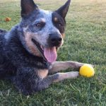 Heeler dog having fun - volunteering