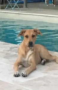 Dog sitting by the pool - volunteering SEQ K9 Rescue Inc